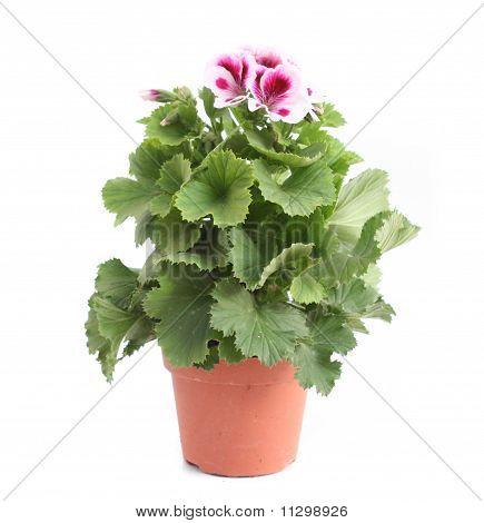 British Pelargonium