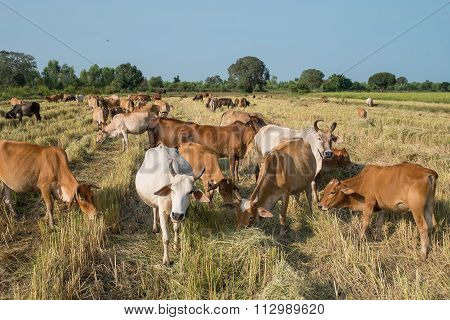 Herd Of Cow In Thailand
