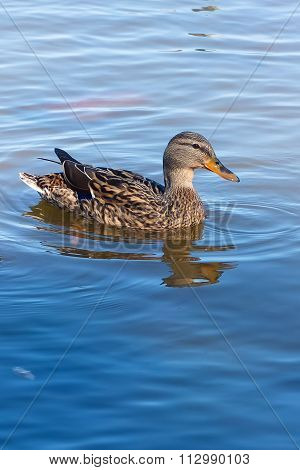 Duck in water.