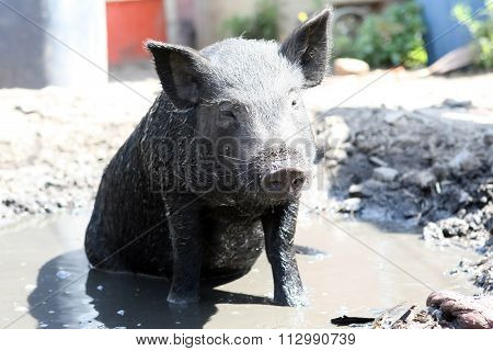 Baby Pig Wallowing In The Mud On A Farm