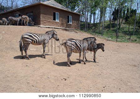 Family of zebras
