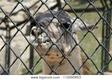 Lama animal in a cage.