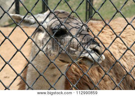 Lama animal.