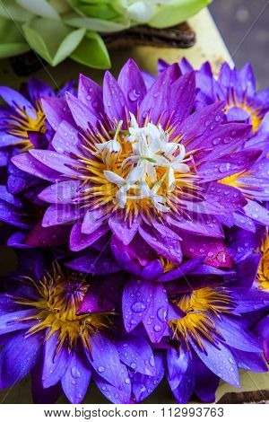 Purple Lotus Flowers For Offering