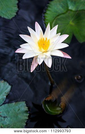 Closeup Of White Lotus Flower