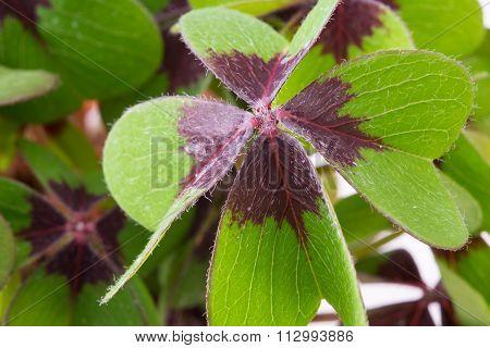 Four Leaf Cloverleaf - Concept Of Luck, Macro Shot