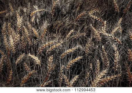 Barley in artistically alienated color