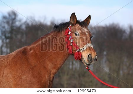 Beautiful Brown Horse With Red Halter