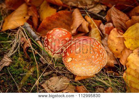 Close-up Of Mushrooms In Woods. Horizontal View Of A Couple Of Mushrooms In Woods, In A Autumn Day..