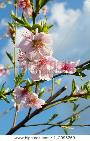 Spring Peach Blossom On A Sky Background