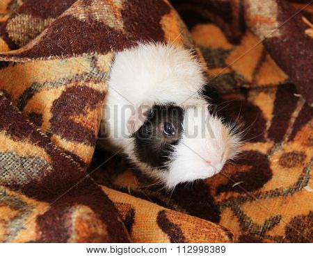 guinea pig in the blanket