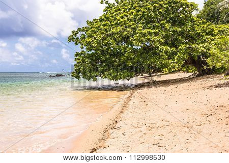 The tree on the beach in Kauai, Hawaii