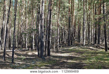 Pine Trees Illuminated By The Sun