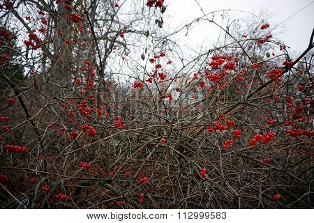Highbush Cranberries