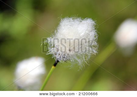 Close Up Of Eriophorum, Cotton Grass