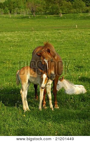 Hanoverian mare snuggling its foal