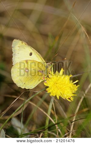 Butterfly Clouded yellow