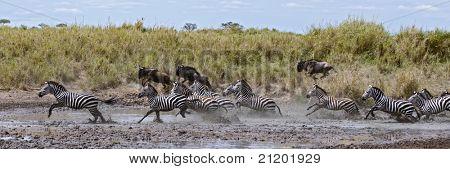 Zebra crossing a river in Serengeti National Park, Tanzania, Africa