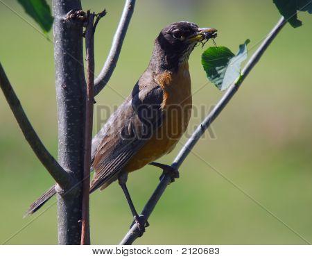 Bird Eating A Bug