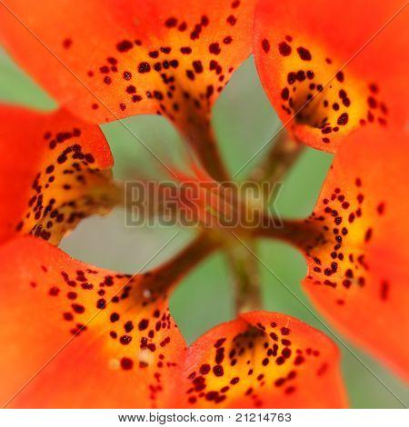 Closeup of Wood Lily Petals