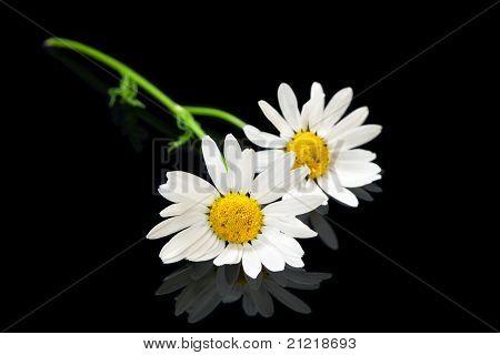 Duas flores Daisy de olho de boi