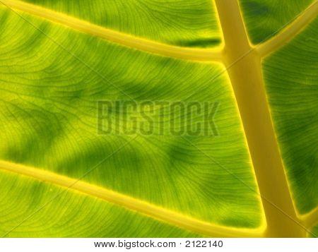 Leaf In A Sun