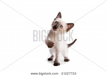 Siamese kitten on white