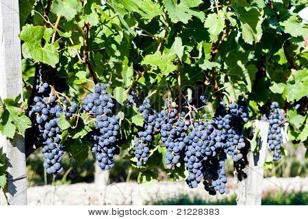 red grape in Bordeaux Region, Aquitaine, France