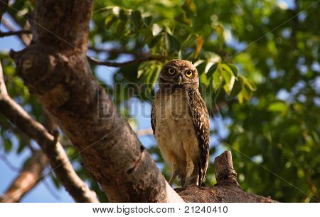 Burrowing owl on tree branch in Florida
