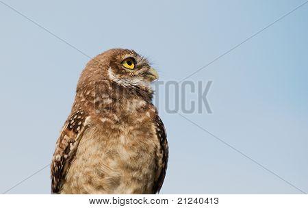 Florida Burrowing Owl Looking Skyward