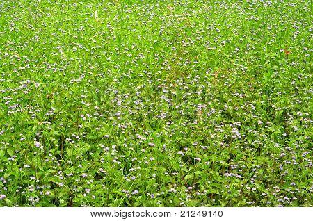 Field of purple grass flower