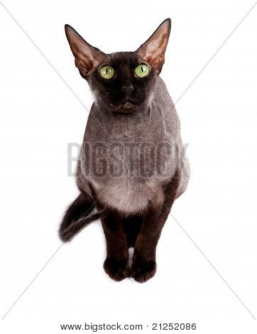 Black Cat Sphinx