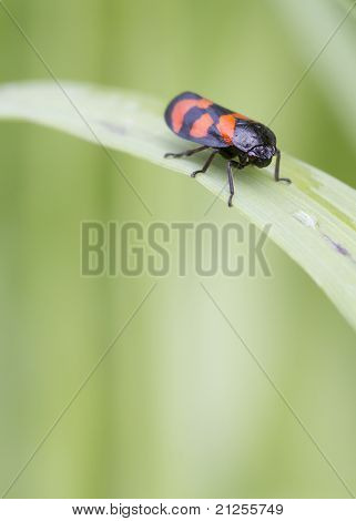 Red And Black Froghopper ( Cercopis Vulnerata )