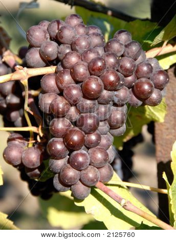 Pinot Gris/Griogio Grapes