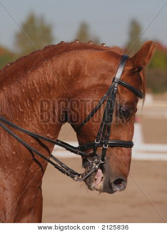 Red Thoroughbred Horse