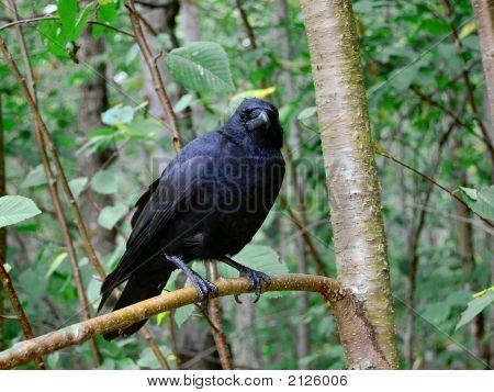 Crow In Woods