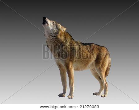 Singing Wolf