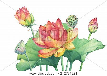 Poster Composition Of Pink Lotus Flower With Leaves Seed Head Bud