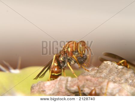 Paper Wasp Preping For Larva Insertion