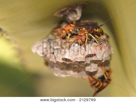 Paper Wasp Crawling All Around Nest