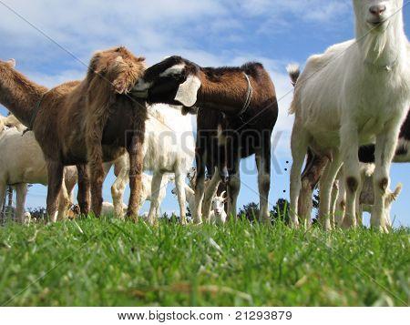 Rude Goats