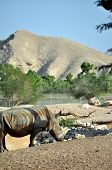 Rhinoceros in the desert at Al Ain Zoo