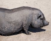 stock photo of pot bellied pig  - A black pot belly pig resting in the summer sun - JPG