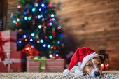 dog jack russel under a Christmas tree in santa red  hat with gifts and candles celebrating Christma poster