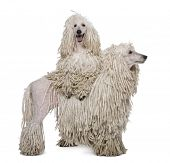 Two White Corded standard Poodles standing in front of white background poster