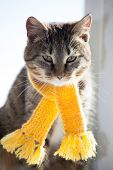 tabby kitten in a yellow scarf on a white background, smoky cat in knitted scarf, isolated on white poster