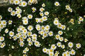 Top View Of A Camomile Or Ox-eye Daisy Meadow Background poster