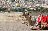 stock photo of mosk  - View including the Dome of the rock and camel in foreground - JPG