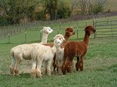 stock photo of alpaca  - Group of alpacas in the field looking alert - JPG