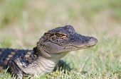 picture of alligator baby  - A baby American alligator in the grass along the shoreline of a Florida swamp - JPG